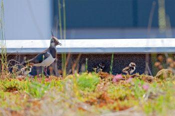 Dans le canton de Zoug, huitcouples de vanneaux nichent sur les toits, alors que, sur la terre ferme, on n'en compte plus que deux ou trois. Chaque jour, les adultes partent se nourrir dans la campagne alentour.