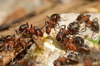 Des fourmis des bois ont découvert une source de sève.