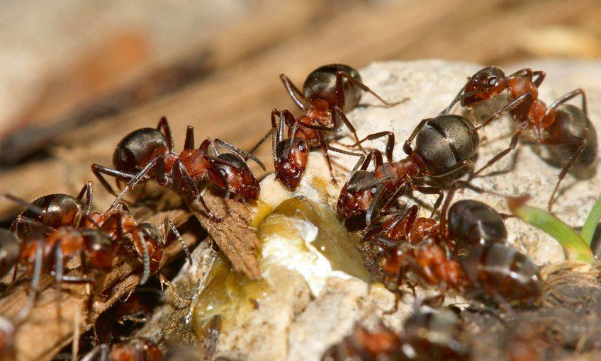 Photo de fourmis des bois qui découvrent une source de sève.