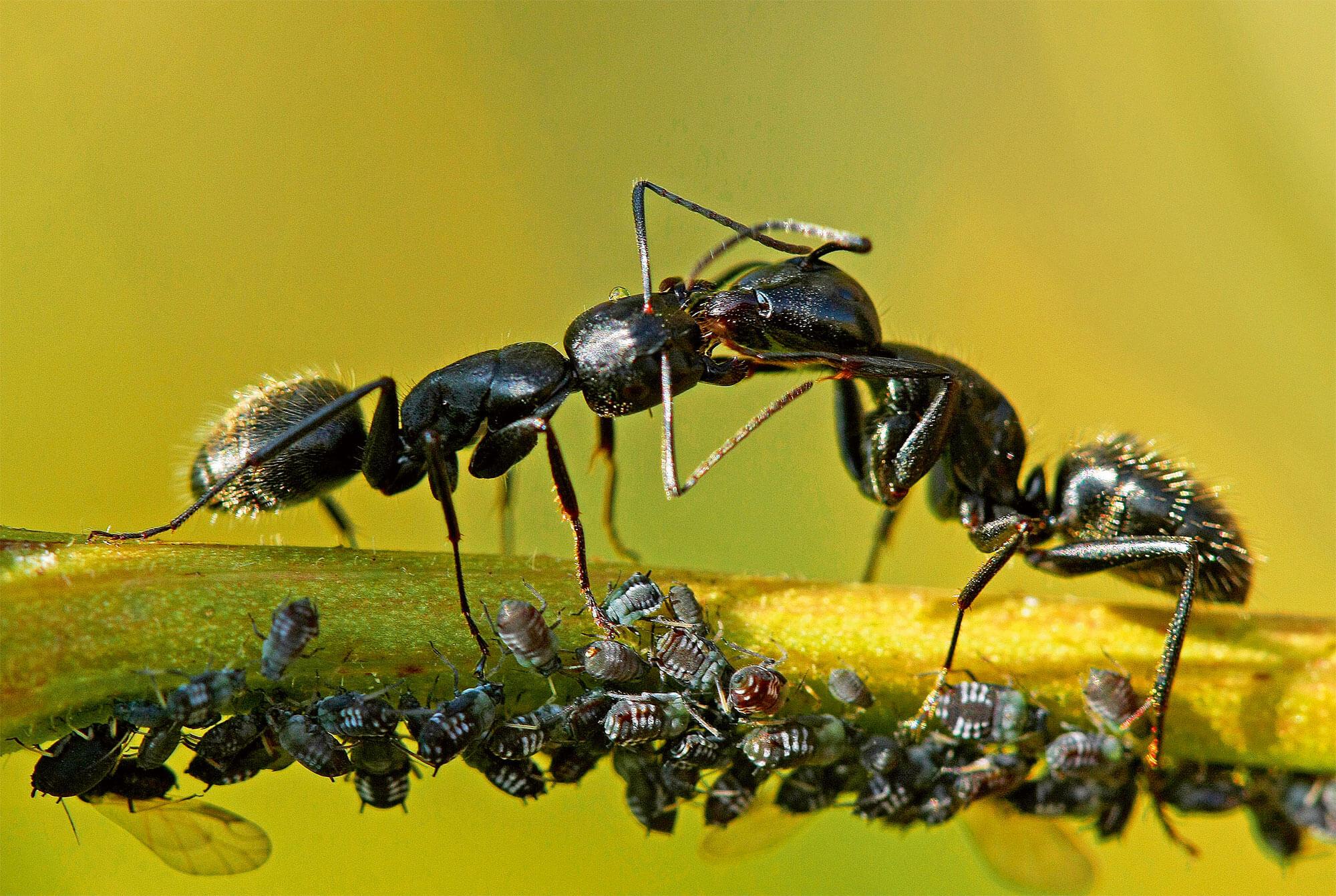 Photo de fourmis s'échangeant du miellat