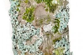 Ecorce d'érable sycomore riche en lichens et mousses. / © Benoît Perrotin