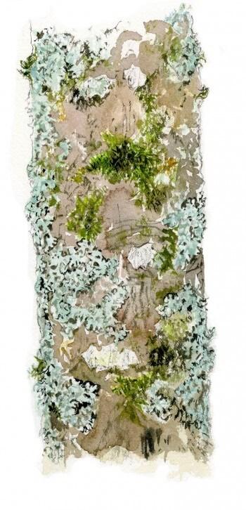 Erable : 4 observations de la faune et la flore qui vit sur son écorce LIchens