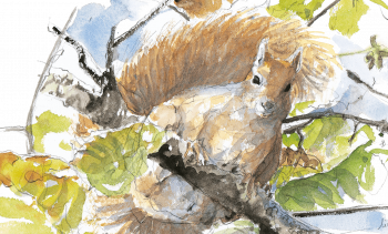 Ecureuil roux perché sur une branche