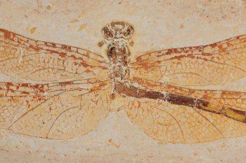 Fossile de gomphidé datant du Crétacé,…