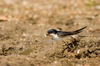 Hirondelle de fenêtre collectant de la boue pour son nid.