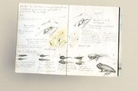 La différence entre grenouille rousse (à gauche) et grenouille agile (à droite) est synthétisée sur cette page de carnet naturaliste / © Philippe Roux-Fouillet