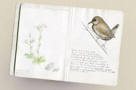 La page du carnet s'ouvre ici sur l'arabette naine et le troglodyte mignon / © Philippe Roux-Fouillet