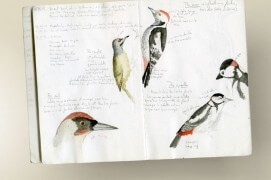 La page gauche de ce carnet naturaliste illustre le pic cendré (en-haut) et le pic vert (en-bas). Sur la page de droite sont dessinés le pic mar (en-haut) et pic épeiche (en-bas) / © Philippe Roux-Fouillet