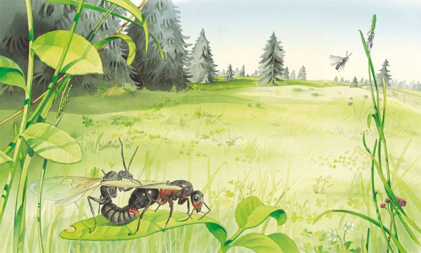 Dessin nature sur la reproduction des fourmis
