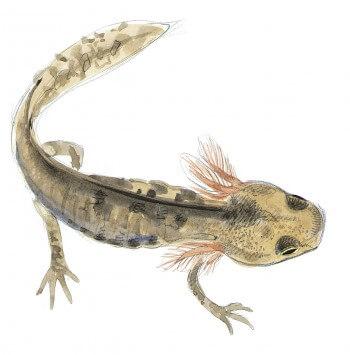 Dessin de larve de salamandre