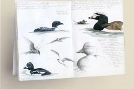 Le carnet de dessins naturalistes s'ouvre ici sur des oiseaux aquatiques: plongeon imbrin, sterne en vol, garrot d'Islande, harelde boréale (de gauche à droite et de haut en bas) / © Philippe Roux-Fouillet