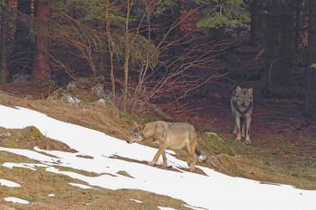Le loup est le principal prédateur du sanglier.