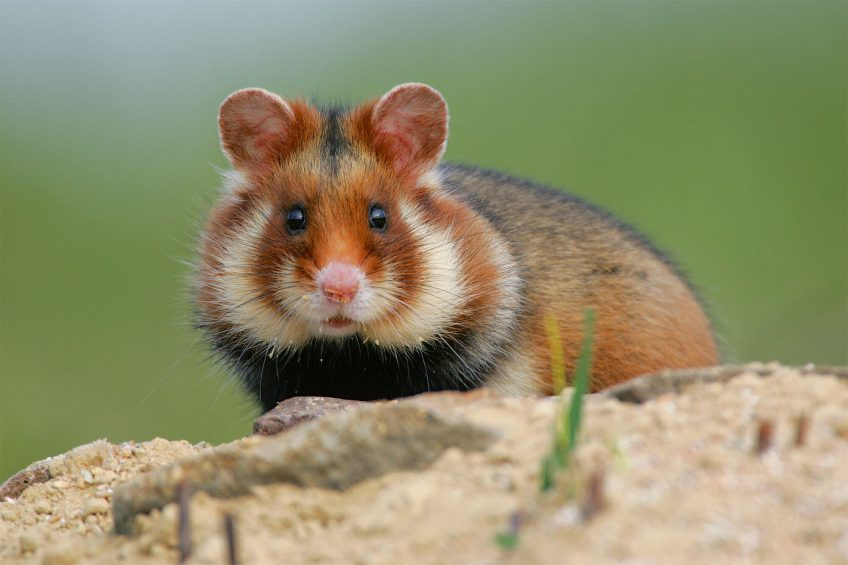 Photo de grand hamster