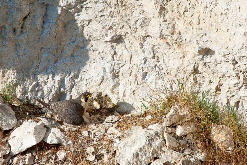 Faucon pèlerin nichant