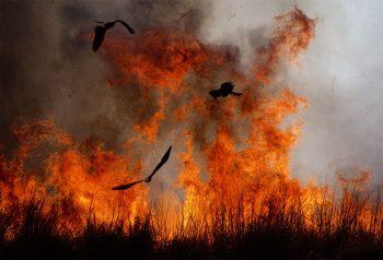 Les milans noirs profitent des feux…