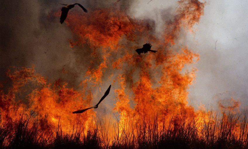 Milans noirs devant un feu de brousse