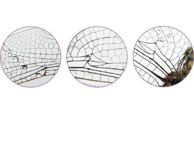 Détails de l'aile d'un orthétrum réticulé