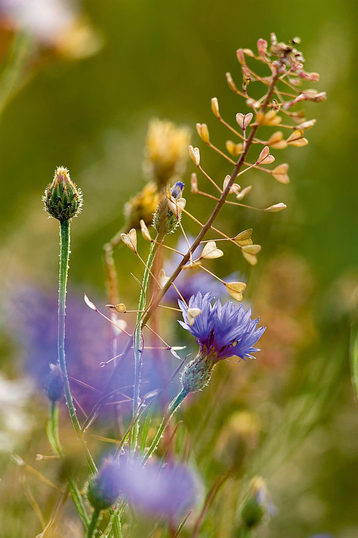 Fleurs de jachères