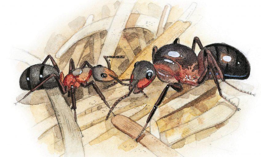 Dessin reine de fourmi et ouvrière