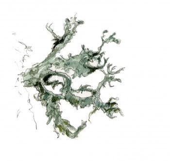 Erable : 4 observations de la faune et la flore qui vit sur son écorce Lichen