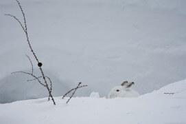 Lièvre variable en tenue de camouflage dans la neige / © Anne et Erik Lapied