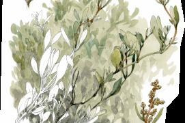 L'obione est un petit arbrisseau blanchâtre aux reflets argentés de 20 à 60 cm de hauteur. Il pousse en bordure de vasière et sur les rochers maritimes. Ses feuilles très salées sont comestibles.  / © Denis Clavreul