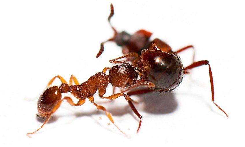Photo de la fourmi Myrmica sabuleti qui hume les phéromones apaisantes
