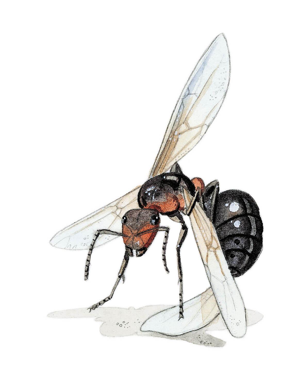Dessin de fourmi se coupant les ailes