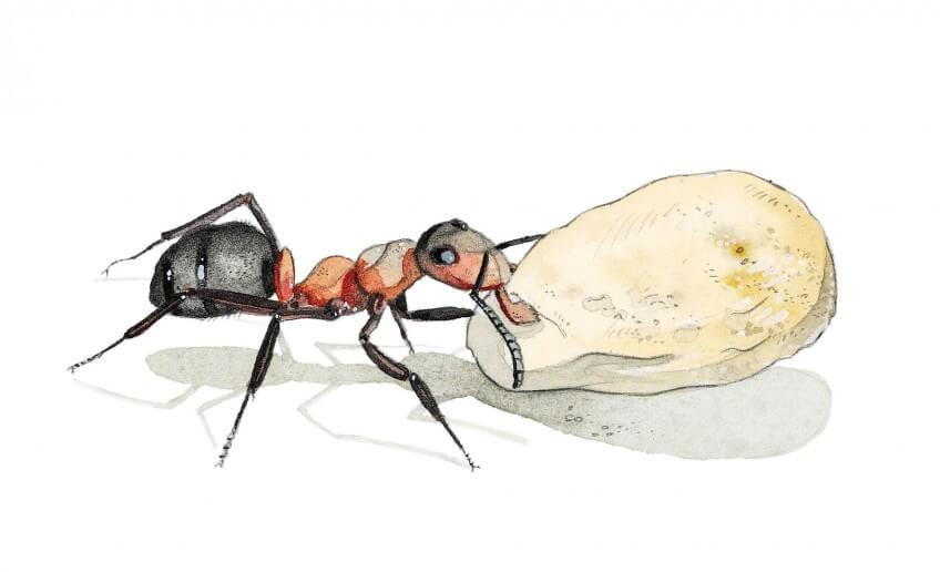 Dessin de fourmi transportant un cocon