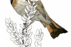 On peut observer les gorgebleues à miroir à proximité des marais salants, dans lesquels ils tirent une partie de leur nourriture, de petits mollusques principalement. Leur nid est caché à terre, dans des entrelacs serrés de plantes.  / © Denis Clavreul
