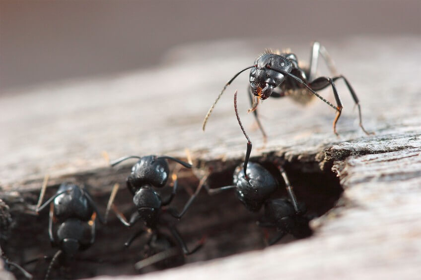 Ouvrières de Camponotus vagus en photo
