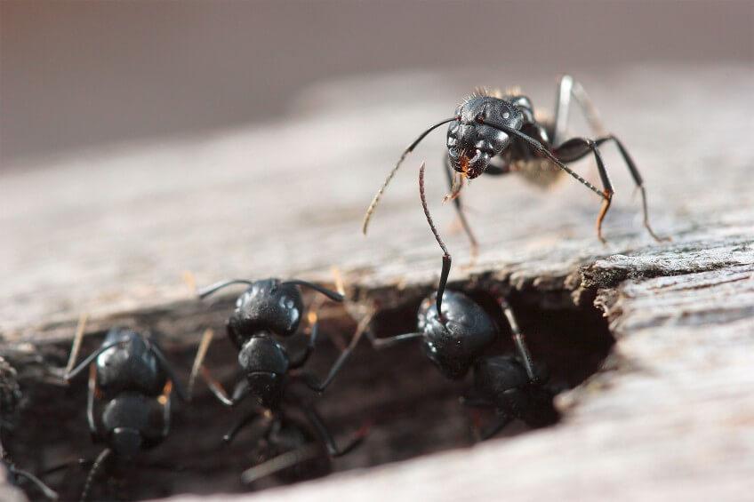 Ouvrières de Camponotus vagus en photo