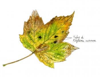 Erable : 4 observations de la faune et la flore qui vit sur son écorce champignons