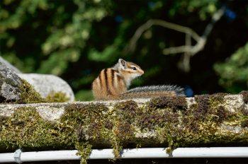Tamia de Sibérie ou écureuil de…