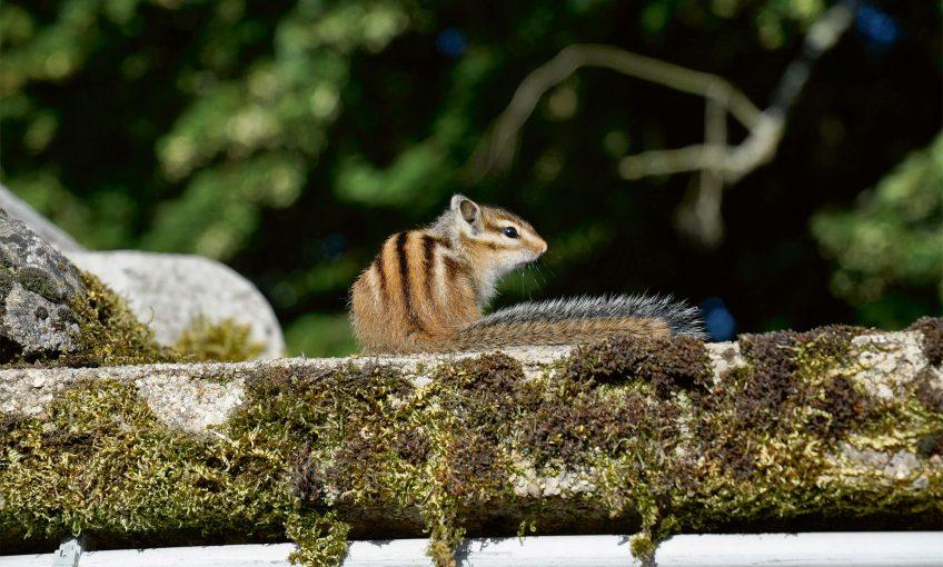 Tamia de Sibérie ou écureuil de Corée, un écureuil exotique introduit en Europe