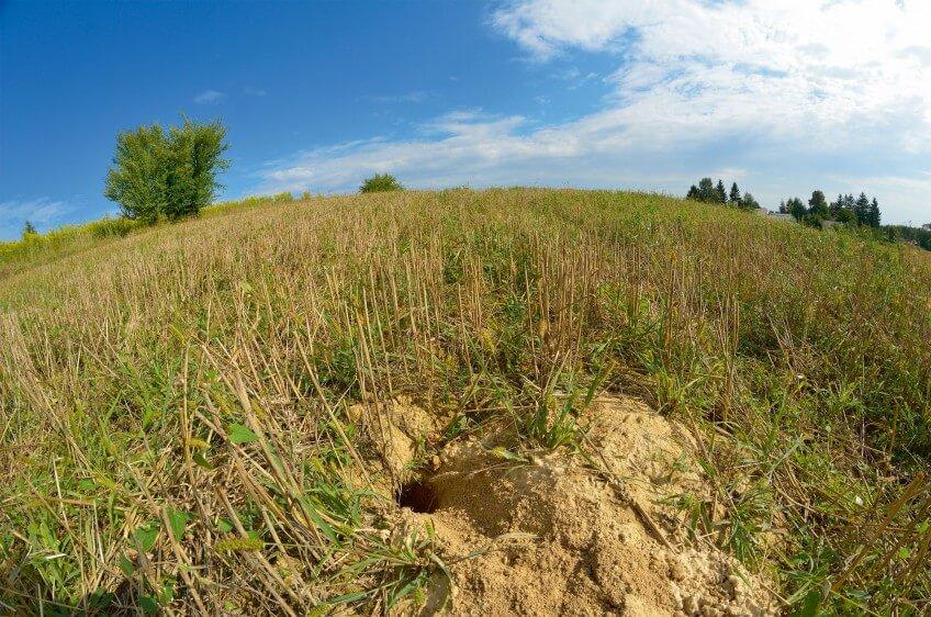 Terrier de grand hamster dans un champ de blé.