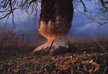 Un large tronc patiemment taillé en crayon par un castor. Bientôt l'animal pourra atteindre ses feuilles appétissantes.