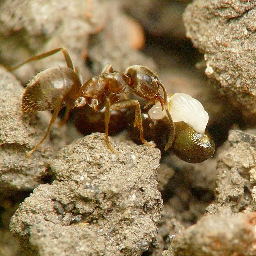Photo de fourmi Lasius niger