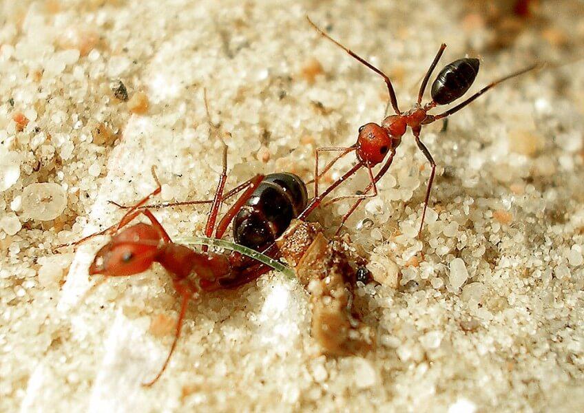Photo de fourmi qui libère une soeur