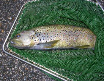 Une truite affectée par la Saprolegnia, un parasite qui décime les poissons du Doubs.