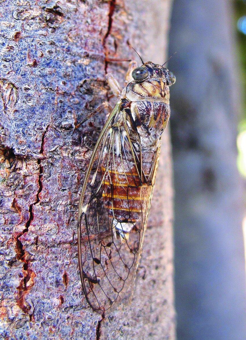 La cigale de l'orne, ou cigale grise (Cicada orni) photo