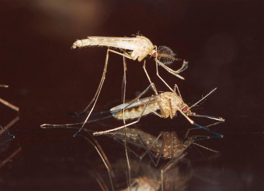 Photo de moustiques en train de s'accoupler