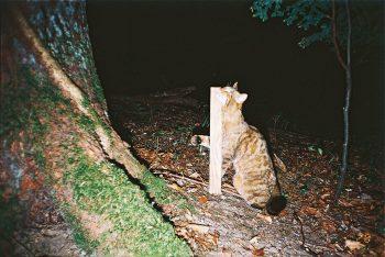Ce chat sauvage marque un piquet en bois de son odeur.