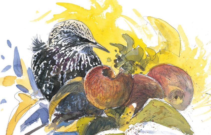 Dessin étourneau sansonnet qui mange une pomme