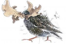 Cet étourneau ramène une feuille morte au nid. / © Laurent Willenegger