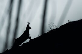 Chamois en fuite / © Neil Villard