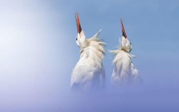Couple de cigognes en parade. Les…