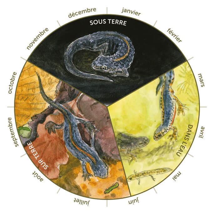 Cycle de vie du triton dessin