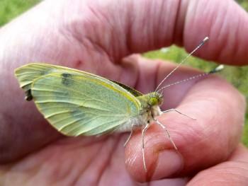 Elevez la piéride, le plus chou des papillons