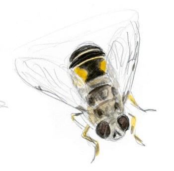 Les insectes et la marguerite dessin nature